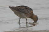 banded short-billed dowitcher (hendersonii?)