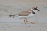 interesting semipalmated plover plum island