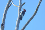 red-headed woodpecker ne biolabs ipswicj