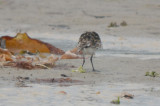 largish, long legged sanderling plum island