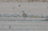 whimbrel with longish bill (female?) plum island