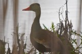 black-bellied whistling duck great meadows