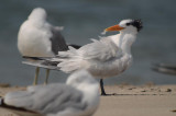 royal tern plum island