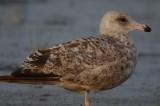 American Herriig Gull-126.jpg