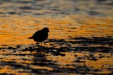 semipal. plover sunset sandy point plum island