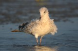Ring-billed Gull (juv molting into 1st winter) sandy point plum island