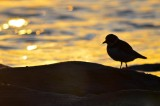 semipal. plover sunset sandy point plum island