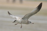 juv ring-billed gull plum island