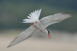 common tern  plum island