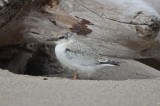 least tern chick almost fledged plum island