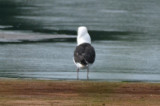 Great Black-backed Gull wonder who he ate?