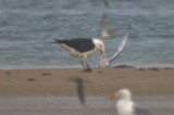 Great Black-backed killing and then eventually eating ring-billed gull plum island