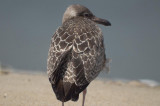 interesting juv herring gull plum island