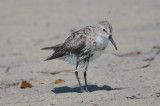 possible_diseased_sandpipers