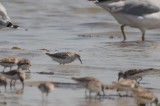 possible hybrid sandpiper