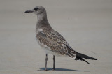 juv laughing gull beautiful bird! Plum Island