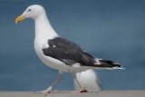 Great Black Basked Gull clearing the beach of subordinates plum island