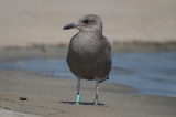 juv Herring Gull must be an Appledore Gull I will have to report