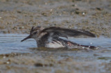 least sandpiper  injured or diseased?  sandy point plum island