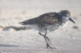 semipalmated sandpiper injured or diseased?  sandy point plum island