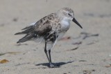 Western injured or diseased?  sandy point plum island