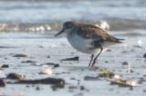 another diseased sandpiper revere beach