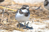 what's up with this semipalmated plover