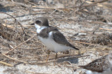 what's up with this semipalmated plover?