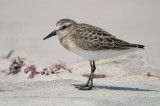 juv semipalmated sandpiper sandy point plum island