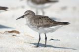 American Herring Gull Plum Island MA Nov SuzSull-4-3.jpg
