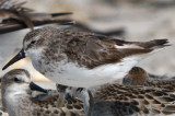 another scabby diseased sandpiper sandy point plum island