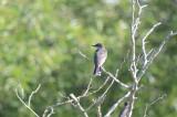 one of 4 kingbirds(family) plum island