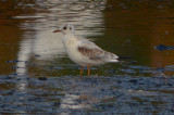 juv molting 1st winter black-headed gull plum island