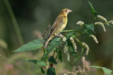 bobolink rough meadows