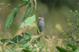 indigo bunting molting rough meadows