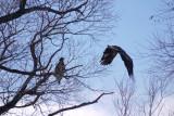 24. Eagle Pair Nesting