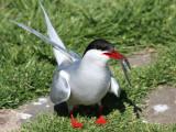 Arctic Tern with Sand Eel