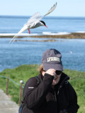 Attack of the Arctic Terns