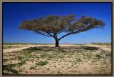 Negev desert Acacia