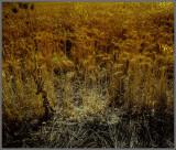 Golden Fields