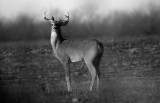 young buck in B&W