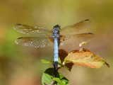 Reflections on dragonfly wings