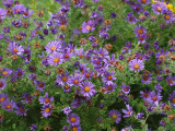 Happy asters