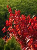 Burning bush in the sun