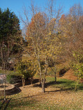 The maple tree in the backyard - Fall 2011