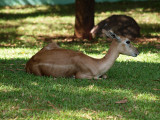 Young deer in the shade
