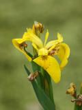 Wild day-lillies