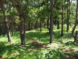 Pathway between the pine trees