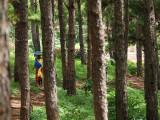 Between the pine trees
