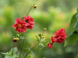 Zinnias, imported from India I believe